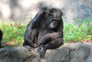 Chimp 5 by SBG-CrewStock