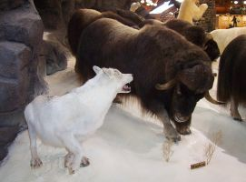 Wolf with musk oxen by lasrinastock