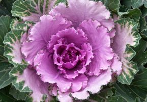 Decorative Cabbage by muffet1