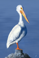 Pelican Study by chadlindall