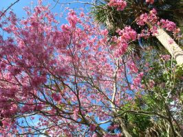 pink flowering tree 2 by crazygardener