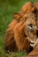 African Lion 71 by catman-suha