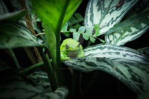 Patient - White's Tree Frog by violent-obsession