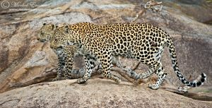 Double Leopard on the Rocks by MorkelErasmus