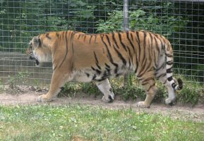 Amur Tiger Stock 9 by HOTNStock