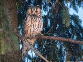 Long-eared owl (Asio otus) by Sergey-Ryzhkov