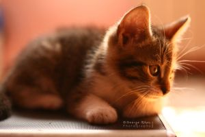 kitten by george-mihes
