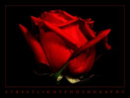 The Rose We Remember... by UrbanRural-Photo