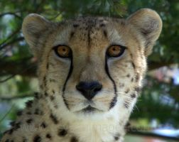 Cheetah by asylumimages