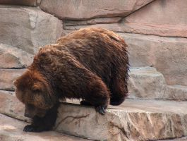 Brown Bear Stock by Gnewi-Stock