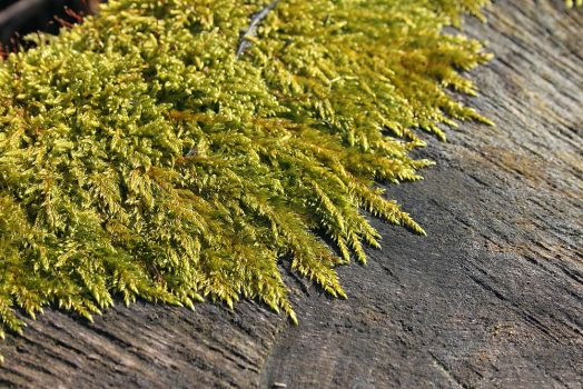 Moss by Achatina