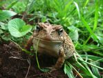 Frog in the Grass by boondock