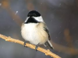 Black Capped Chickadee by davincipoppalag
