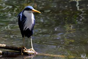 Pied Heron by Feytoh
