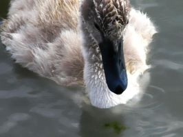 Swan Chick by Formel