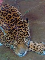 Jaguar Napping by SubRosa-undertherose