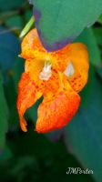 Spotted Jewelweed by JMPorter