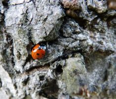 Coccinellid (3) by DaOldHorse