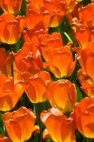 Capitol Tulips 02 by StudioFovea