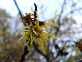 Bloom of Witch Hazel by Llammastache
