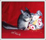 Speedy the Chinchilla munching by Villa-Chinchilla