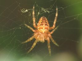 Tiny Garden Spider by biggyp