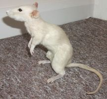 Champagne coloured rat taxidermy by EternalEmporium