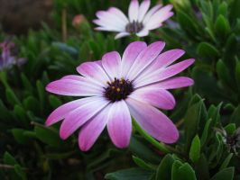 Purple Daisy by MissBuffySpears