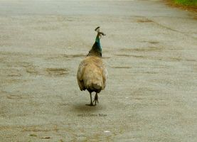 Stray Peahen by skinsvideos21