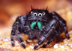 Another Jumping Spider With Googly Eyes by Bongwater-bandit