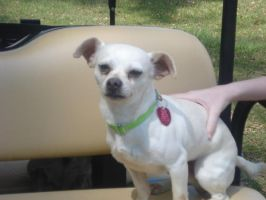 Chico the cute little chi by iluvhorsez-25
