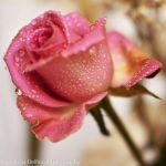 Rose with drops version 2 by FrancescaDelfino