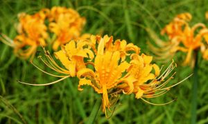 Yellow flowers with native bees by CouchyCreature