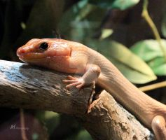 A little Skink by Amarantheans