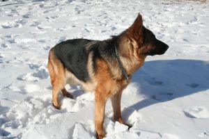 German Shepherd Stock 012 by EssenceOfPerception