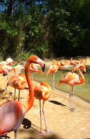 Flamingos at the zoo 2 by mrskupe