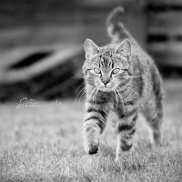 Cat II by Justysiak