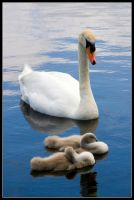 Swan Family by george-kay