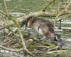 Great Crested Grebe Family II by Parides
