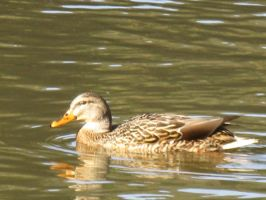 Mallard female by orcafinatic