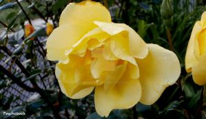 Yellow rose by nikinik666