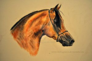 arabian horse by imFragrance