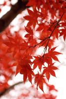 Japanese Maple Leaves III by xXCold-FireXx