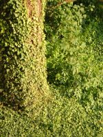 Ivy Tree by Lengels-Stock