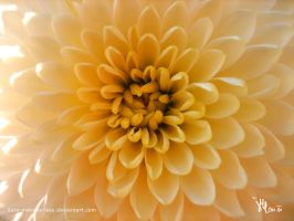 dahlia in the center by ilura-menday-less