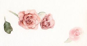 rose study by silver-spurs