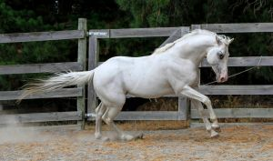 White stallion canter 2 by xxMysteryStockxx