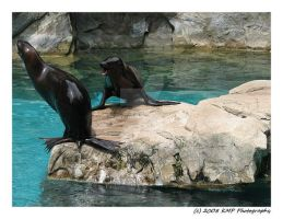 Sea Lions at Play by picworth1000wrds