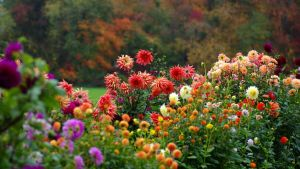 Autumn Dahlias by barcon53