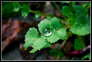 Drop on the Leaf by jevigar